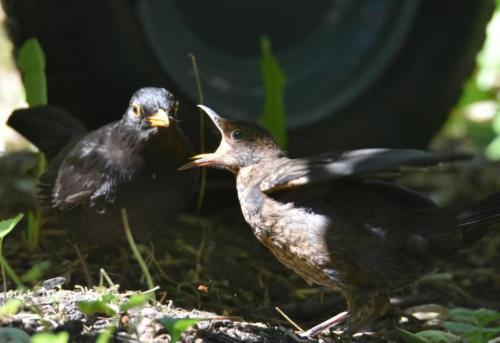 Fütterung eines Amseljungen